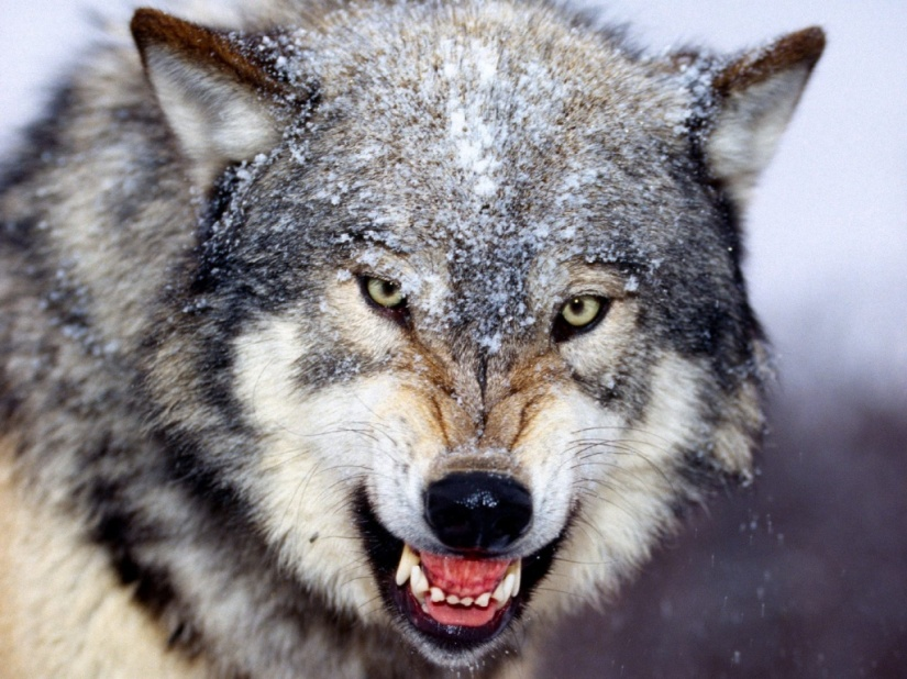 angry_wolf_wallpaper-1024x768